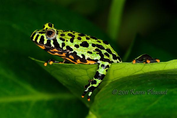 Oriental Fire Bellied frog (Bombina Orientalis)