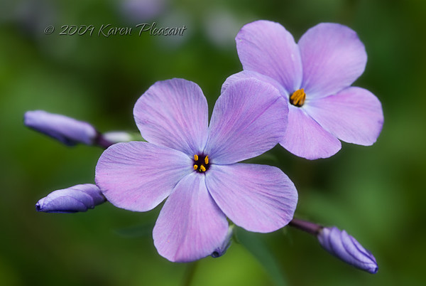 Phlox divaricata (Wild Blue), Smokey Mountains National Park, Tennessee