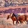 """Wild Horses- Navajo Country, Arizona""-They looked friendly enough. They lined up to pose for the stranger who stopped to take their picture. On the route to Lake Powell from Flagstaff you'll see them roaming through the high desert with the red rock as a backdrop. They scare easy, so I moved slowly and as close as they would let me get. Most of the 20 or so ran off, but these 3 stayed long enough for a quick shot before moving on."