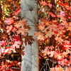 Red Maple near Park City, Utah<br /> I was lost in color as I climbed back into the thick of it, in this huge grove of maple trees near Park City, Utah. I was totally surrounded by all this never-ending burst of reds. It was hard to figure what to photograph, to break it down into a simplied form. So I just picked a small part of a tree, and let that speak for the entire forest.