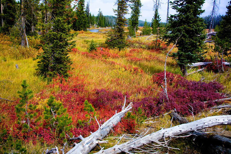 "Colors of Autumn at Yellowstone National Park<br /> I guess years ago fires ravaged this area as is evident of the scarcity of trees and low lying bushes and scrubs that have taken there place. It made for some interesting fall colors, just creeping along the ground and out into the meadows. I spent quite a bit of time just wandering through the swampy, low lying area. Kind of felt at home in the muck, sort of speak.<br /> <br /> Office Art can be found at: <a href=""http://www.songbirdplants.com/office_photo_art.html"">http://www.songbirdplants.com/office_photo_art.html</a>"