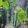 "Aspen Grove, Wyoming""-Autumn comes early in areas of Wyoming. This is a trip I took mid September and colors of fall were everywhere.<br /> <br /> I'm on the central coast of California at the moment avoiding the heat of Phoenix shooting sunsets around Pismo Beach, before possibly heading back east. Weather back there is a bit iffy so will see."