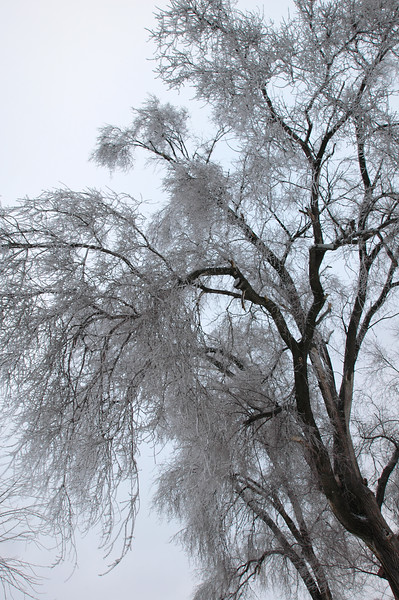 For: Jan. 15, 2007 - Been offline so catchin up. Added 5 new pics dated 1/15-1/19.<br /> <br /> Winter Ice Storm<br /> Chinese Elm Tree<br /> January 2007