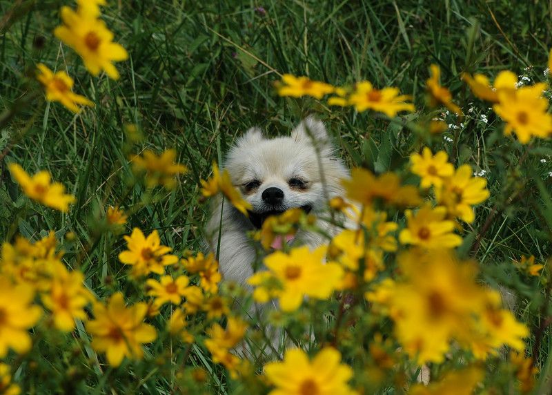 Peek-A-Boo Doran!<br /> <br /> After an extremely long day I decided to go through some of the numerous pics I've yet to process and find a smile: Meet Doran. This was taken back in September while out on a walk about when to my surprise Doran decided to play peek-a-boo among the flowers with me. I think at the time he was simply jealous of the surroundings and willing to do anything to grab my attention - as you can see it worked :-) Looks like he's about to accidentally swallow one of them oof flowers.
