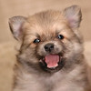 """<div align=""""center""""> <h3>HA - I will never sleep, lady your crazy if you want me to sleep.</h3><br /> </div> This is part of a photo story about putting 7 Pom Puppies To Sleep - A Pomeranian Puppy Story. It's so much easier to envision than to actually pull off. It took over 3 hours to get all 7 puppies to sleep at once. They wanted to play... I could envision the photo... needless to say it made quite a photo story with the crazy lady and her camera. And I thought putting my kids to sleep was difficult. NOT. LOL!<br /> There's 24 pictures to this story. <a href=""""http://id.smugmug.com/gallery/2584021#135550954"""">Click here if you'd like to see them all.</a><br /> <a href=""""http://id.smugmug.com/gallery/2584021/1/136043592/Medium"""">Or click here to see them all asleep - after 3 hours of trying - lol. </a><br /> <br /> Sorry I've been away a few days. Lots going on around here with sick kids, a neighbor passing away, and of course my wonderful trusty dial-up connection (not). Have a great day everyone!<br /> March 15th, 2007<br />"""