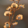 Make way winter blah's...<br />  ~ Evening Radiance ~ <br /> ...for with sunset even <br /> weeds are glorified!