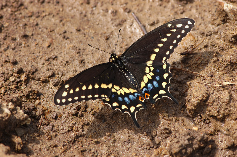 Black Swallowtail Butterfly ~ papilio polyxenes<br /> <br /> Oh how I would have loved this little beauty to have been perched on a prettier background... nonetheless he did my heart a joy when he continued to dance around landing here and there as if begging me to capture him and him alone :-) <br /> <br /> PAD Date: August 24th, 2009