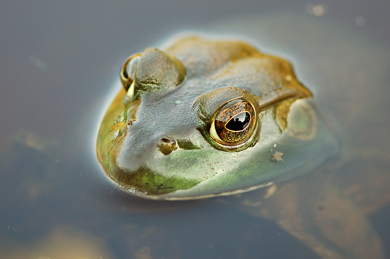 <H1>My... what big eyes you have… </H1>Hmmmp... the better to behold your reflection my dear... Meet Roy - one of many bullfrogs who love just hanging out in the stream in front of our home and driving the dogs crazy because try as they daily do... they can't catch one for nothing!  I spent much of today cleaning the computers hard drive of excess photos and defragmenting the paging file during boot time. Shew... glad all that's better. It's maintenance I'd just as soon never do... but one that would be so much simpler if I'd just stop procrastinating the task. Learn dumb dumb... learn! :-) All I know is it's a real good thing diskeeper runs automatically for the most part by keeping everything defragged so I don't have to. Now that's a piece of software well worth it's money... certainly in my case in particular.   We had a crop duster fly directly over our home so close I thought it was coming through the walls... those pics will have to wait for another day as by the time I finished maintenance I'm to wiped out to process anything.   PAD DATE: September 6, 2009