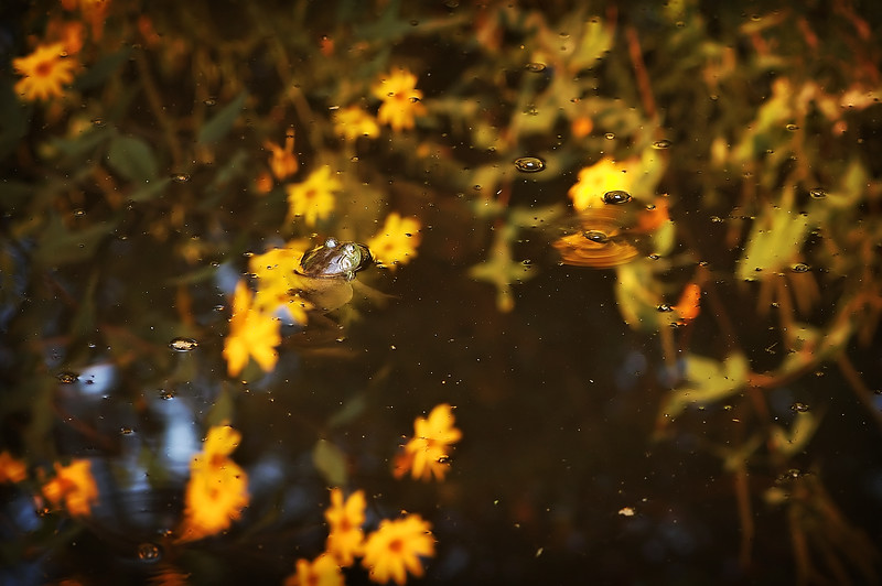 """<H2>Perception Reflection ~ Sink, Float or Swim?</H2> Okay… so it's not much of a grand photo. The water in and of itself was gross I'm telling you… <br> but the moment I saw the frog in the cess pool and the relection of beauty around him…<br> it sure did inspire the thought wheels to turn… meditating.<br> <br> <div align=""""left""""> Do you see yourself sinking in a mass of polluted life in your midst...<br> Do you feel yourself falling deeper in the stagnant swamp we fight to win...<br> Does your reflected visual image reveal you floating amidst the bubbly surface... <br> Is your floating going no where, with no way to win...<br> Or are you floating higher above life's troubles and worry from others that would condemn...<br> Does your reflected visual image reveal you swimming upward past the turmoil...<br> As for me, I'm trusting Jesus as He leads, Trusting Jesus because in this... yes even in this, we are created to win?<br> PAD DATE: September 24th, 2009   To all my PAD friends... I'm sorry I've not been around much... I will try hard to do better I promise!<br> </div> <H3>Attitude Baby... Attitude! I'm with the frog who says... <br> """"Find me in the flowers if you can""""!<br> I/We have choice - sink, float or swim! <br></H3>"""