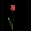 """PAD - April 9th, 2006<br /> """"Red Blush""""<br /> <br /> This image is available without the digital frame &/or signature by clicking the contact link above to send me an e-mail requesting removal before placing your order. Thank You."""