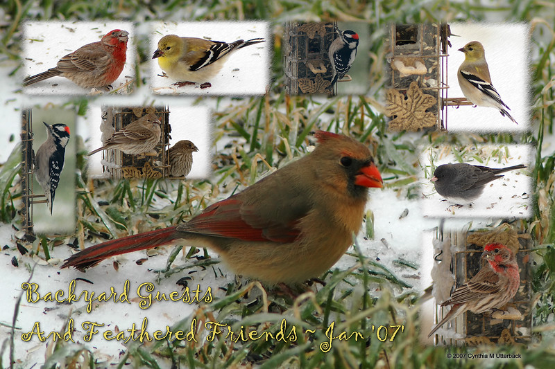 """""""Backyard Guests And Feathered Friends""""<br /> <br /> A collage of photos I took out the window yesterday. I absolutly have no knowledge of proper bird names so Rodney (hubby) brought a bird book home from his mom to help me identify them. I've included the names I 'think' they may be but if anyone notices one or more wrong... by all means please correct me :-D<br /> The individual pics can be seen at: <a href=""""http://id.smugmug.com/gallery/2352878"""">http://id.smugmug.com/gallery/2352878</a><br /> <br /> Northern Cardinal ~ Cardinalis cardinalis<br /> American Goldfinch ~ Carduelis tristis<br /> Junco Dark-eyed ~ Junco hyemalis<br /> House Finch ~ Carpodacus mexicanus<br /> Downy Woodpecker ~ Picoides pubescens"""
