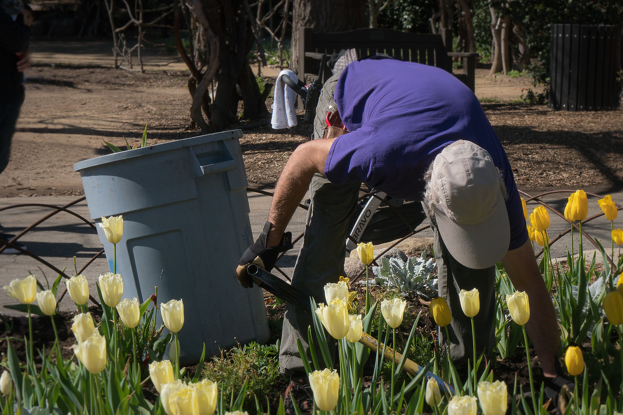 Volunteer digging up the tulip beds