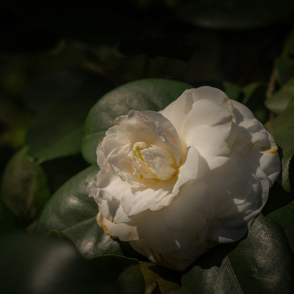 Bedraggled camellia at Descanso Gardens