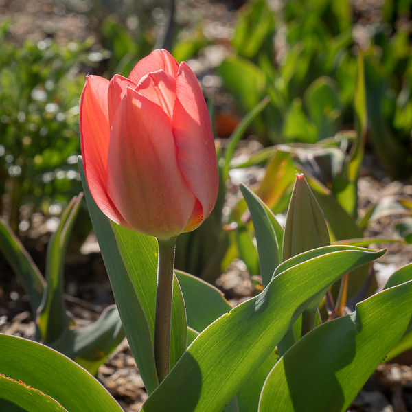 Early Tulip at Descanso Gardens