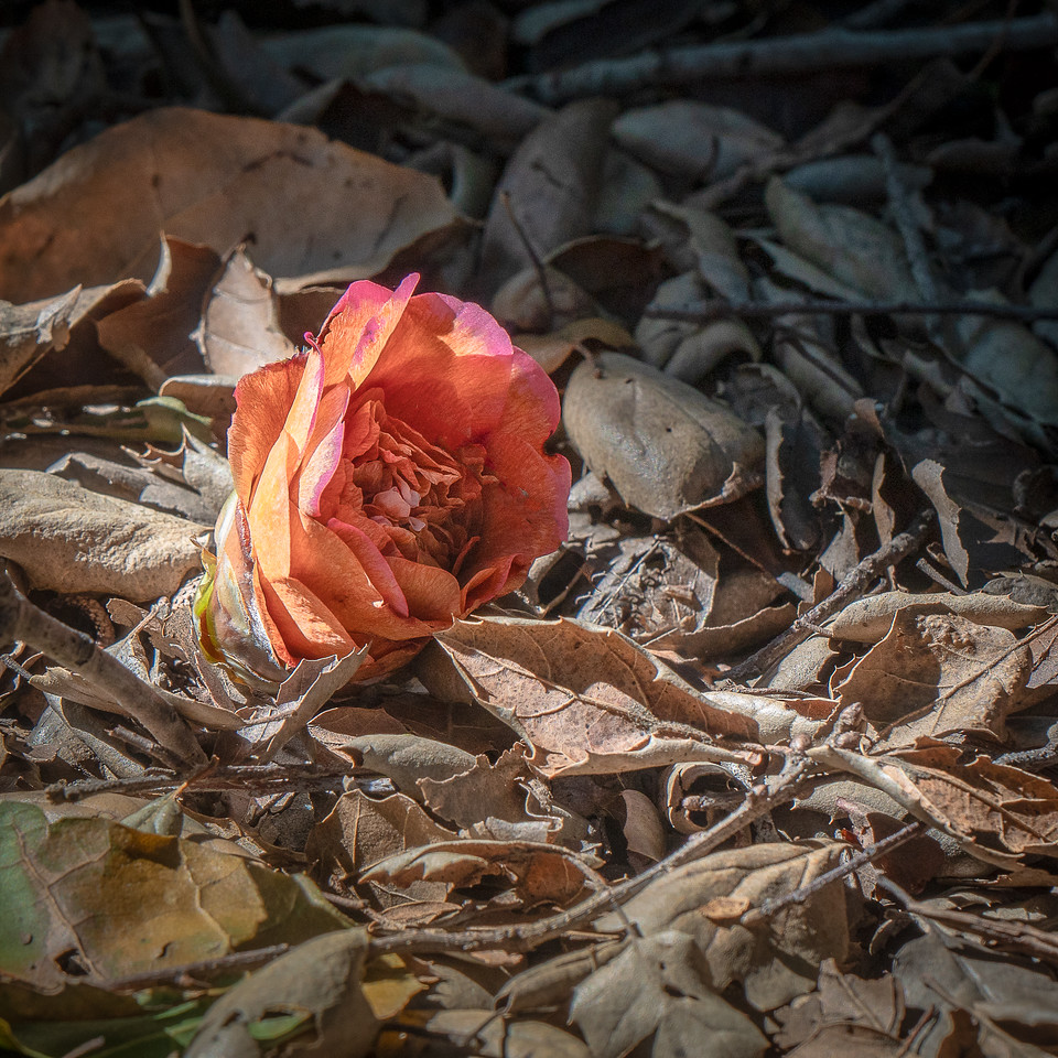 Fallen camellia on the ground at Descanso Gardens