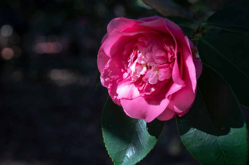 The Camellia Garden is alive with blossoms!