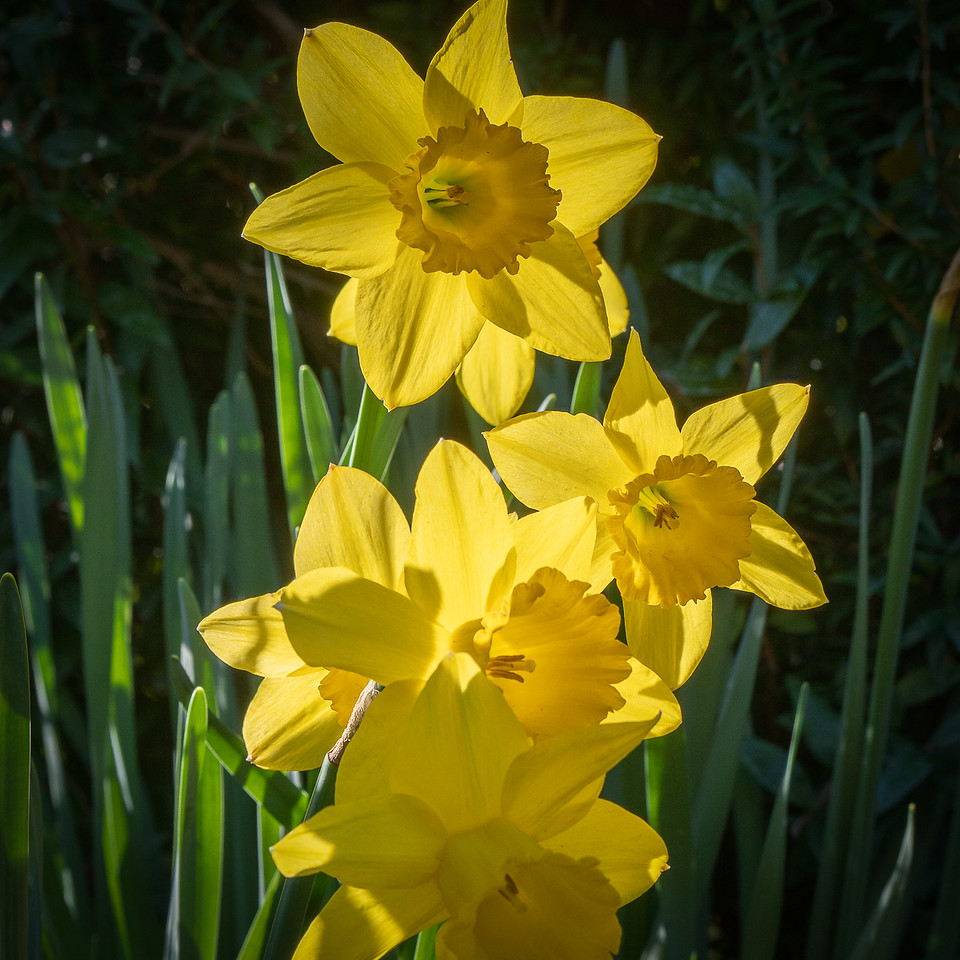 Clusters of daffodils in the morning sun.
