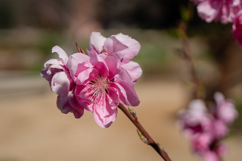 Cherry Blossoms are attracting bees at Descanso Gardens