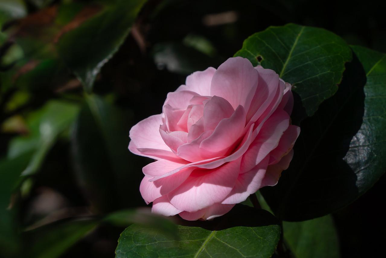 A pink camellia at Descanso Gardens