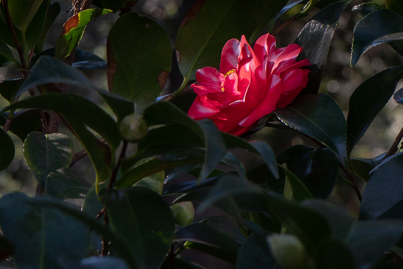 Camellia tucked away in the bushes