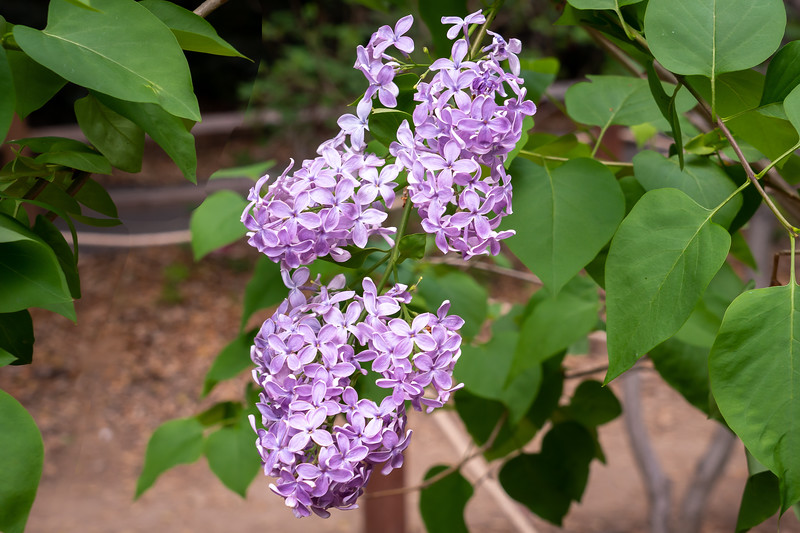 Fragrant lilac bushes blooming at Descanso Gardens