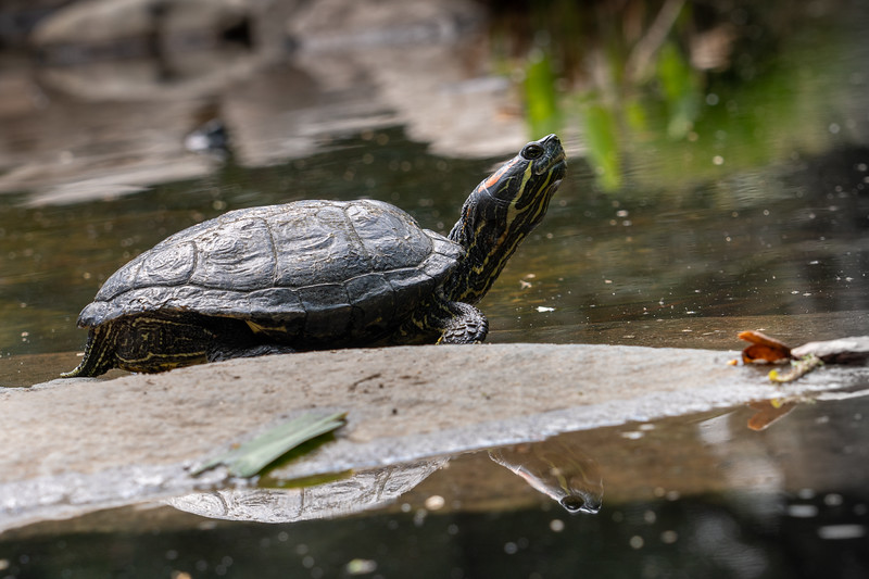 Red Eared Slider in a pond at Descanso