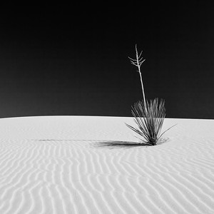 Black and white image of yucca on white sand dune