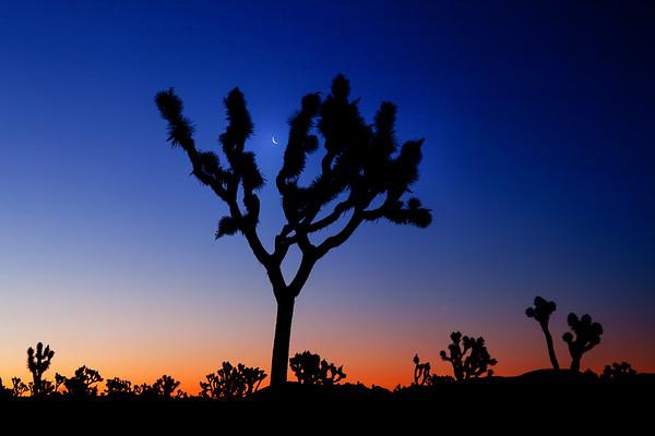Moon set at sunrise in Joshua Tree National Park California
