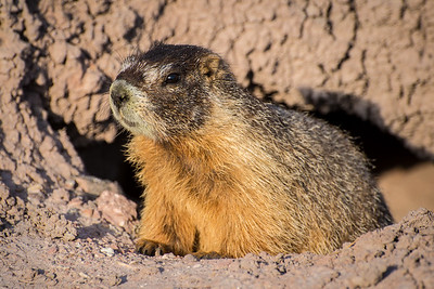 Yellow-bellied Marmot (Marmota flaviventris) - Capitol Reef National Park  - Utah