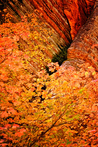 Fall color against red canyon walls in Zion National Park Utah