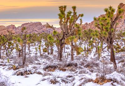 Snow Covered Joshua Tree