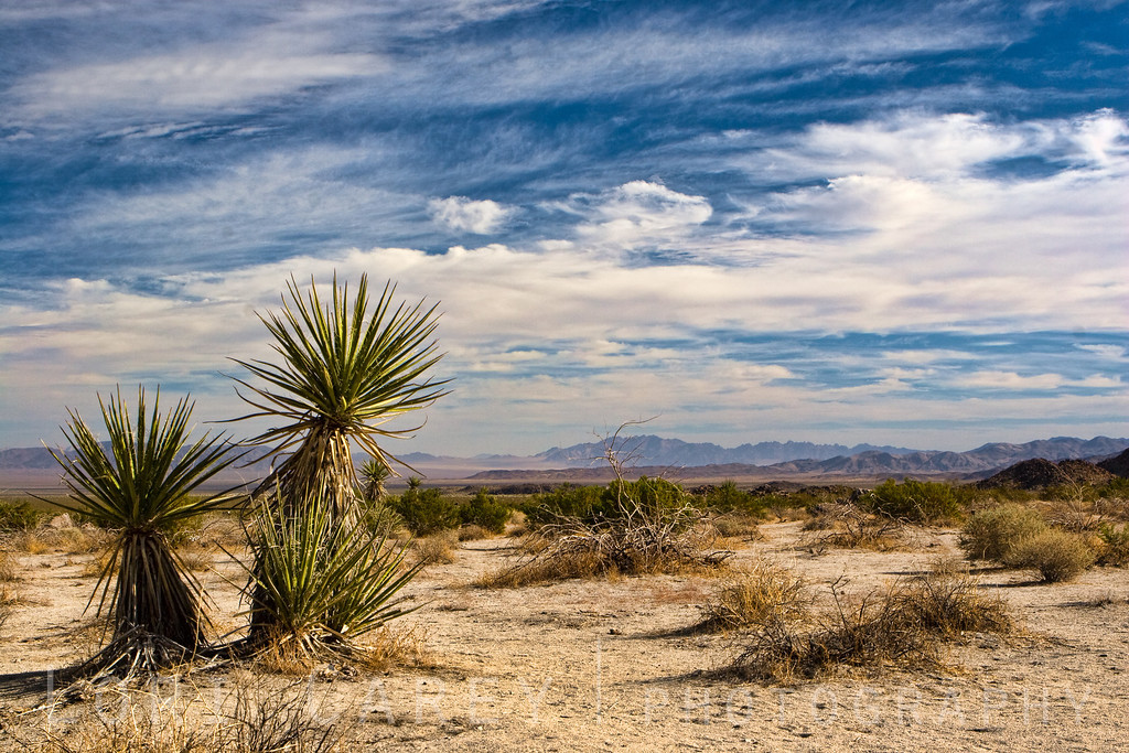 Mojave Yucca (Yucca schidigera) in the Pinto Basin, a 30 mile long, 10 mile wide flat area filled with sand and silt washed from the surrounding mountains in Joshua Tree National Park, Cailfornia.