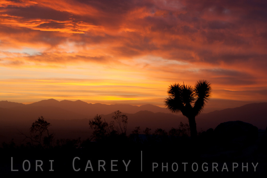 Joshua Tree silhouette at sunset, Johnson Valley in the Mojave Desert.