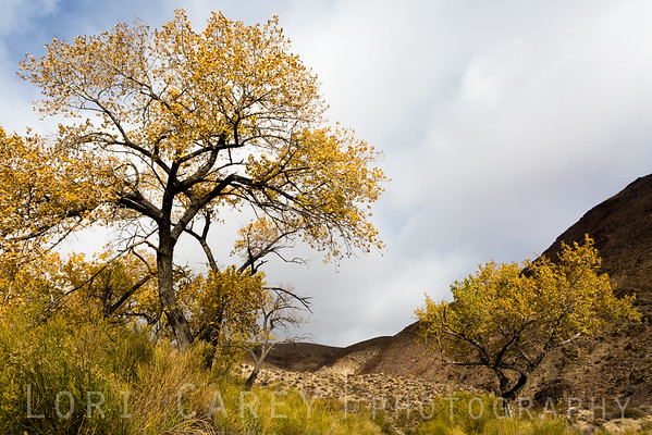 Autumn cottonwood trees at Wilson Spring in Johnson Canyon, Death Valley National Park
