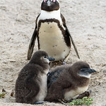 African Penguin and Chicks