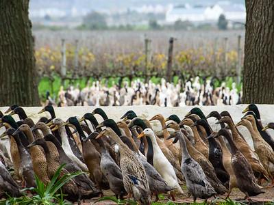 Duck Stampede