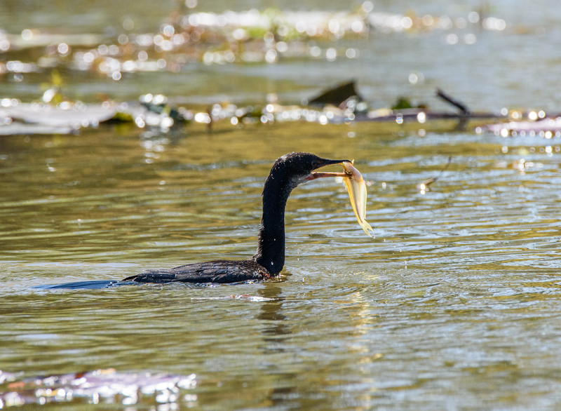 African Darter with Fish