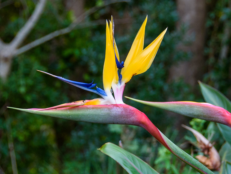 Mandela's Gold Bird of Paradise