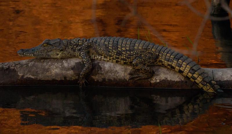 Juvenile Croc at Sunset