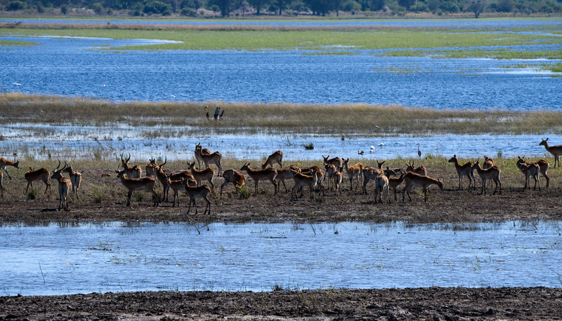 Red Lechwe, Chobe River