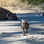 Baby Hyena and Mother