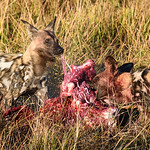 Feeding Wild Dogs