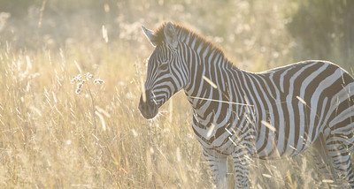 Early Morning Zebra