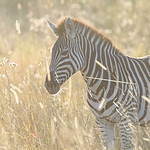 Early Morning Zebra