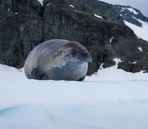 Crabeater Seal, Cuverville Island