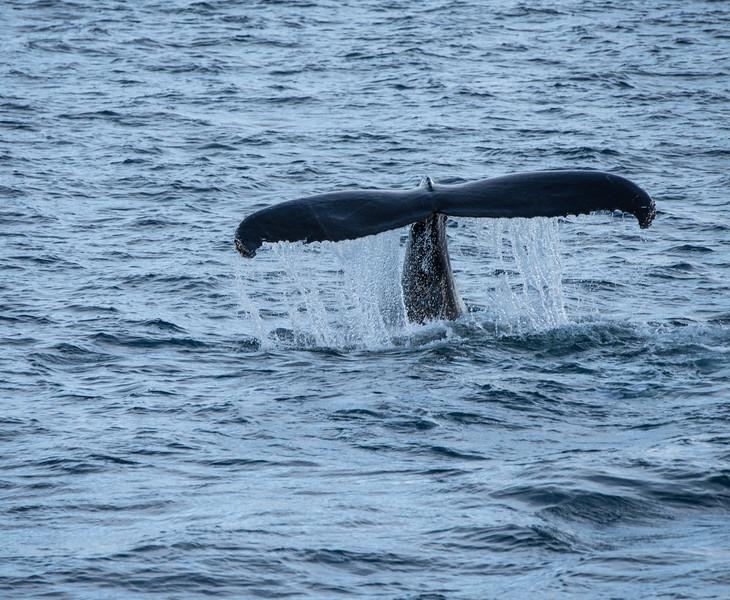 Humpback Tail Flip