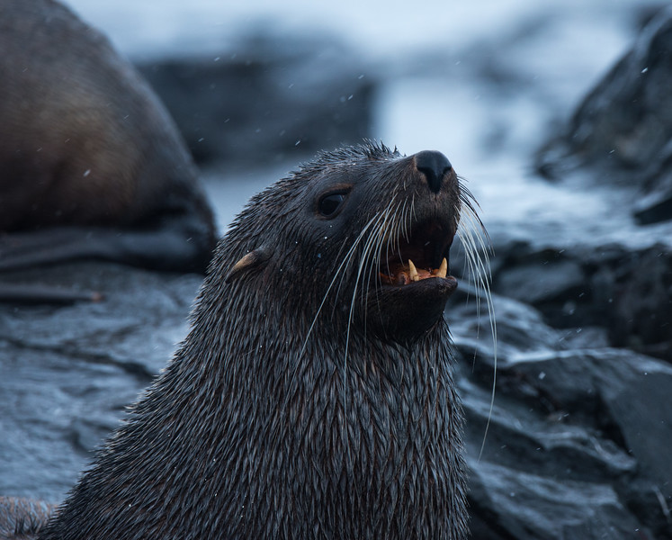 Fur Seal, Mikkelsen Harbor