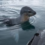 Leopard Seal, Paradise Harbor