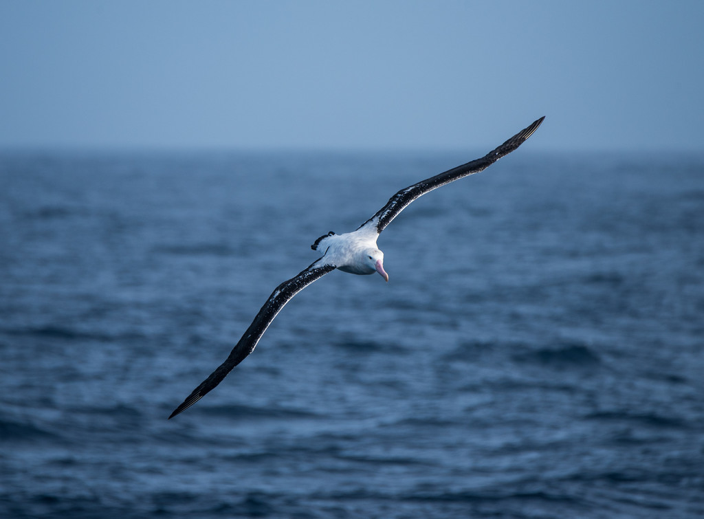 Wandering Albatross, Drake Passage