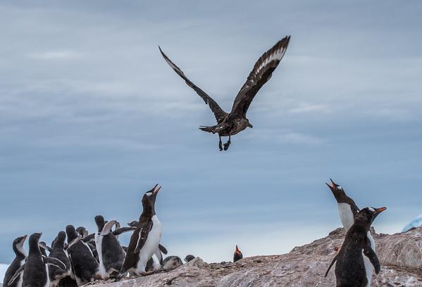 Defending the Chicks, Petermann Island
